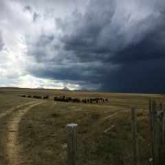 Caption: Bison on the Blackfeet Reservation, Credit: Amy Martin