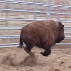 Caption: Jumping Bison, Credit: Reuben Maness & Oakland Zoo