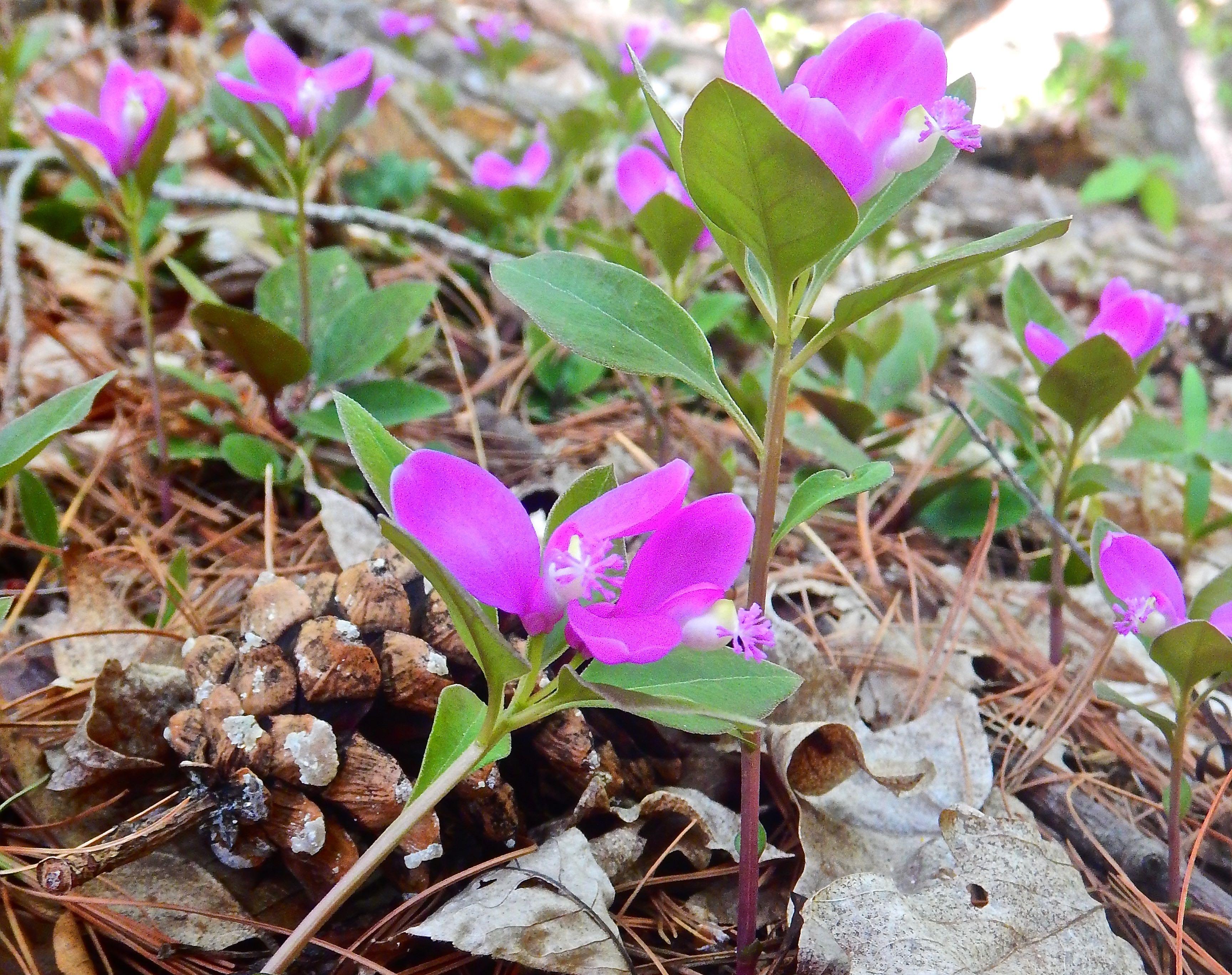 Caption: Fringed Polygala, Snake Mountain Wildlife Management Area, Addison, VT, Credit: Brian Aust