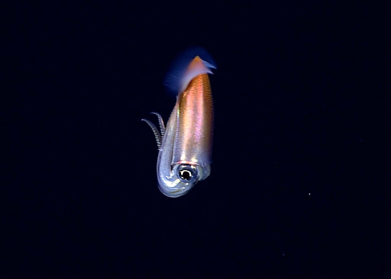 Caption: Deep ocean research off the Western Coast of Hawaii: the first time this species of squid was spotted in its natural habitat, Credit: NOAA Okeanos Explorer