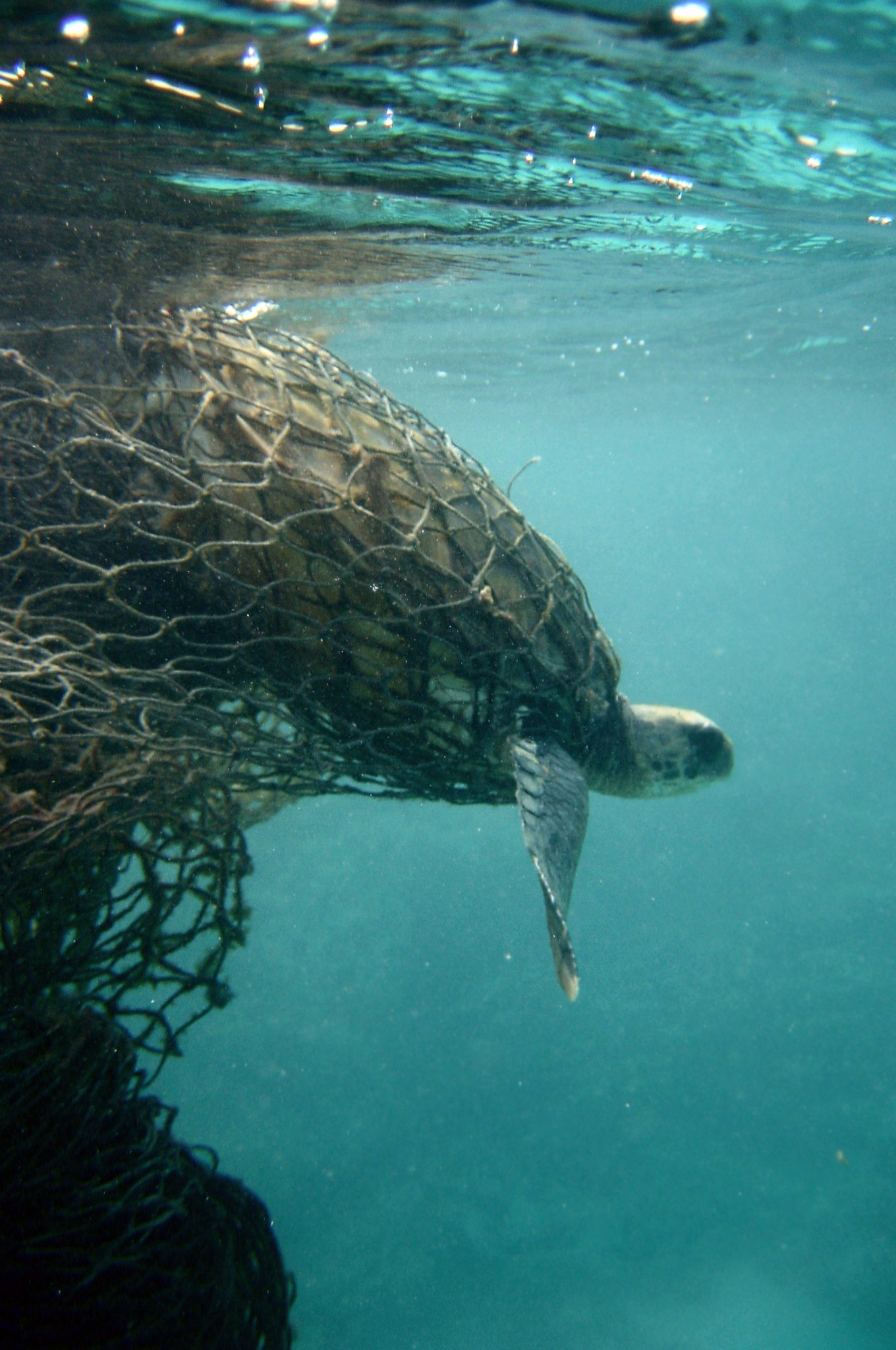 Caption: Sea turtle caught in a ghost net