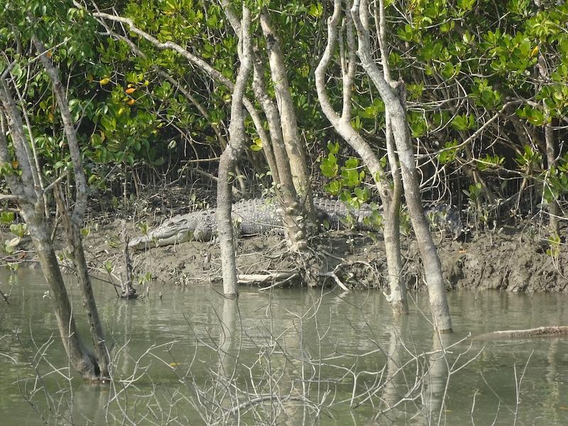 Caption: A crocodile in the Sundarbans, Credit: Sandip Roy