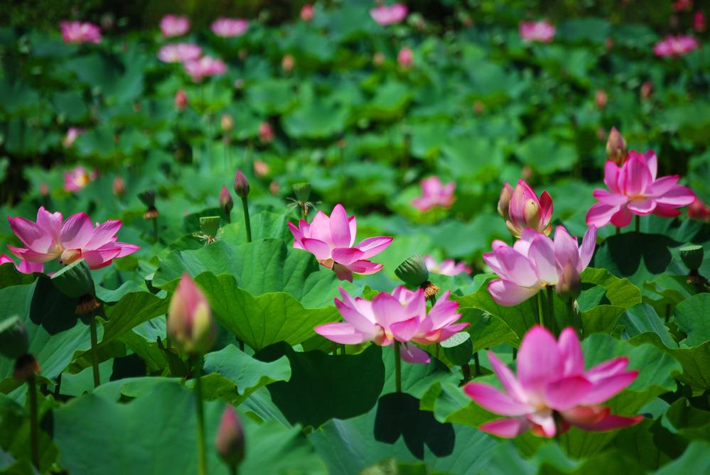 "Caption: www.cafechill.org, Credit: National Park Service, ""Lotus Flower Ponds"", public domain."