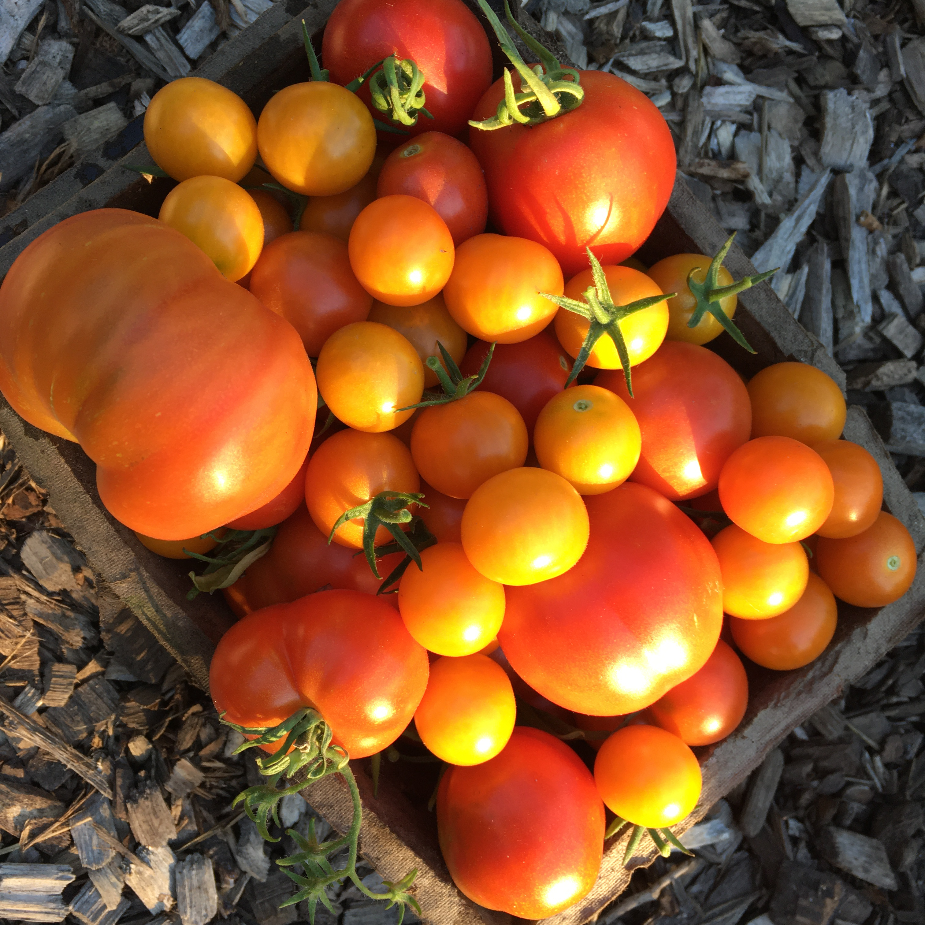 Caption: freshly harvested sungold cherry tomatoes