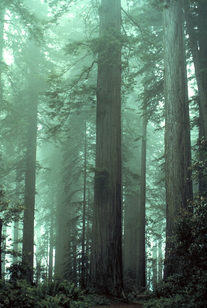 Caption: www.cafechill.org, Credit: Redwood National and State Parks, National Park Service, 2011, public domain.
