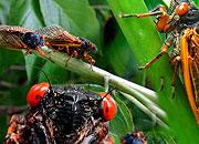 Caption: Cicadas and Zombie Seeds, Credit: Seth Shostak