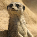 Meerkat_small