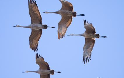 Caption: Sandhilll cranes. Photo by Michael Janke via Flickr Creative Commons.