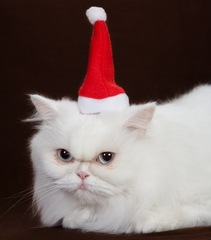 "Credit: <a href=""http://www.shutterstock.com/pic-42617665/stock-photo-white-kitten-with-santa-hat.html"">Shutterstock</a>"