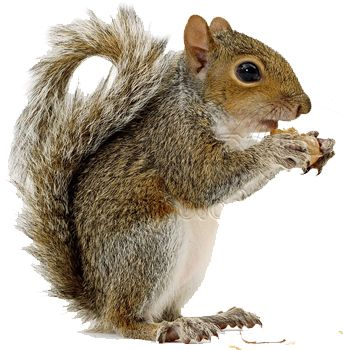 Image result for squirrel clipart