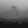 black and white photograph of sheep in fog