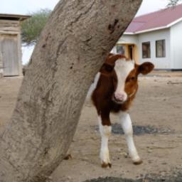 Tumaini social enterprise: Dairy Farm