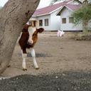 Maasai Dairy Farm Project - Engikaret