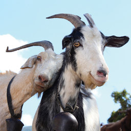 The Gift of Goats!