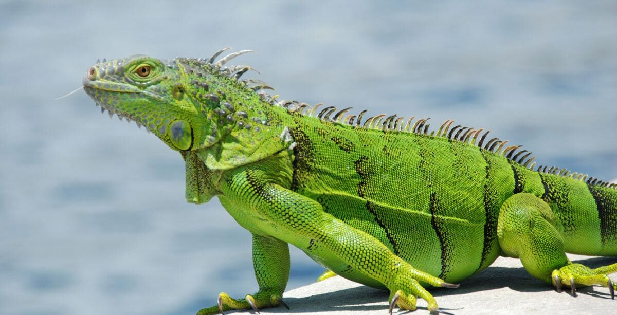 Green Iguana 101 Pet Articles Ca Pet Valu Pet Store