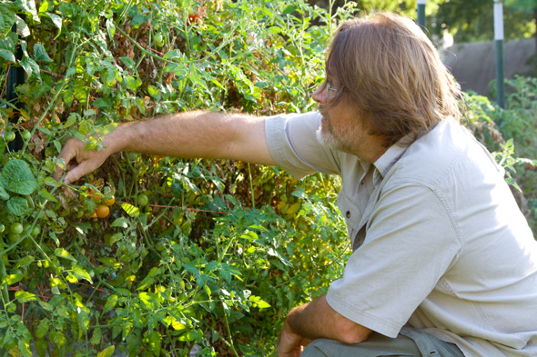 Keith Mueller checking one of his tomato plants at the Community Garden at Cherokee Christian Church in Prairie Village.