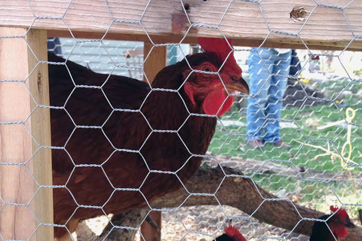 A happy hen in a coop at Deleware Street Commons in Lawrence, Kan.
