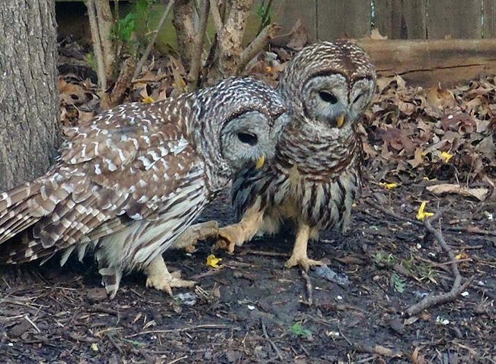 Barred_Owls