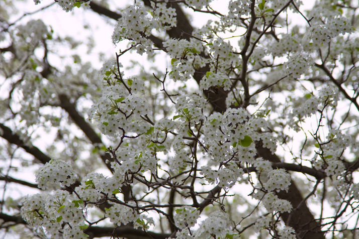 Flowering_Tree_PVPost