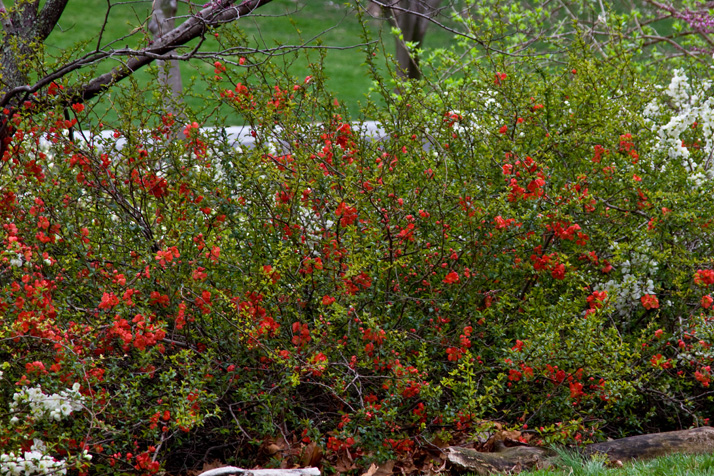 Red_Flowering_Bush