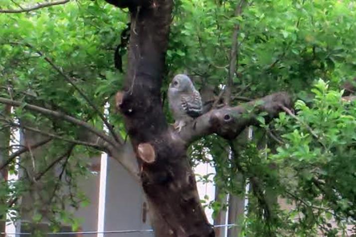 barred-owl