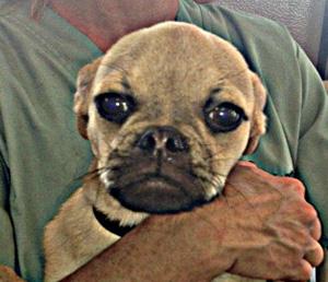 Yoshi the puggle.