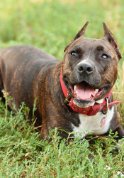 """Prairie Village's ordinance currently bans the ownership of Staffordshire pit bull terriers, American pit bull terriers, American Staffordshire bull terriers, and dogs that have the """"appearance and characteristics"""" of those dogs."""