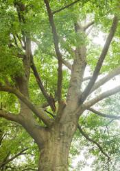 The dreaded oak mite is back...