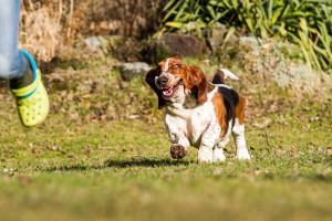 Bassett-dog