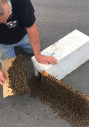 John Speckman working with the bees at Merriam Town Center Sunday. Photo via Merriam police.