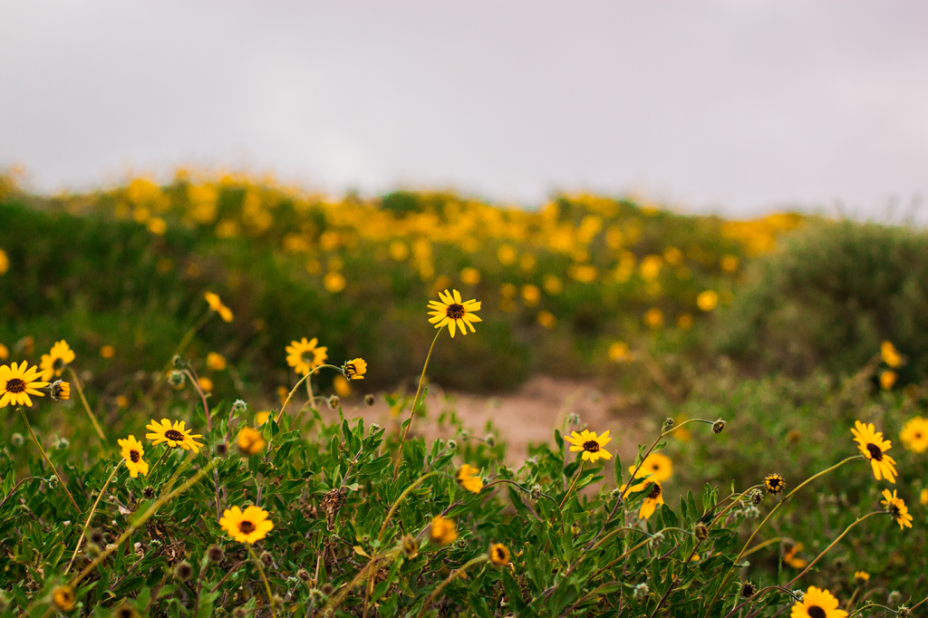 Daisy flower field in La Jolla