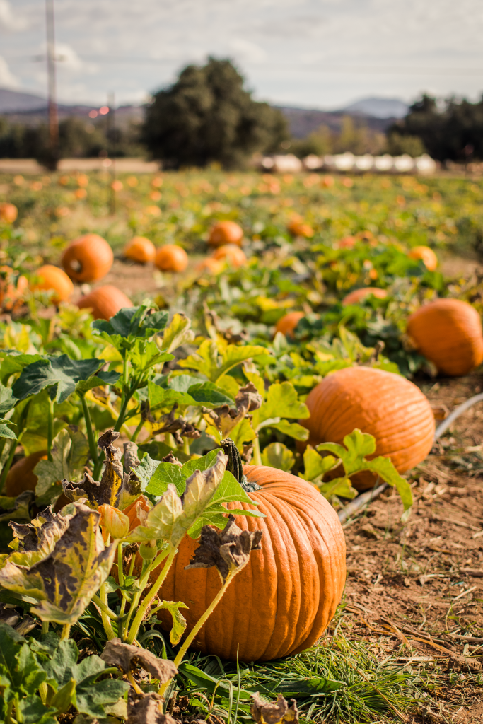Julian Pumpkin Patch | Cross Family Farm Pumpkins