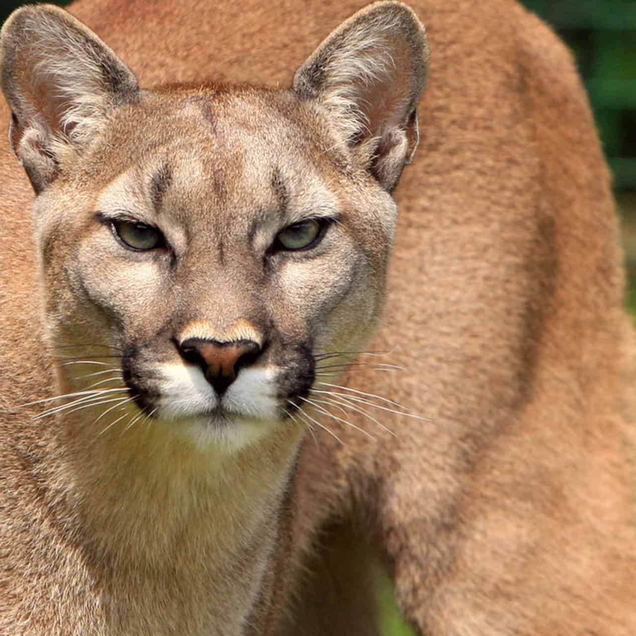 "A woman in British Columbia was being stalked by a mountain lion while she was out walking her dog last Tuesday.  But she managed to scare it off by grabbing her phone, and blasting the Metallica song ""Don't Tread on Me"""
