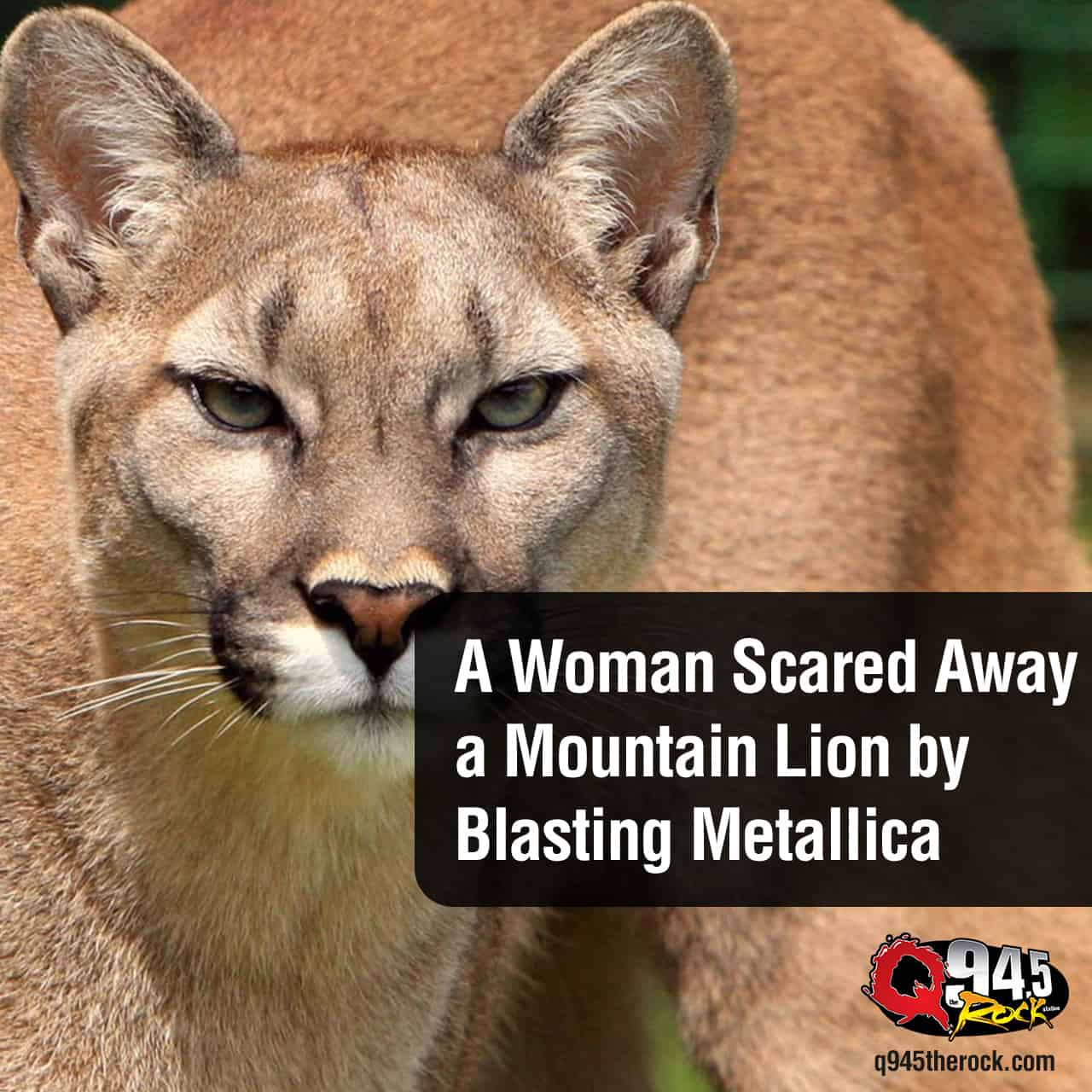 A Woman Scared Away a Mountain Lion by Blasting Metallica