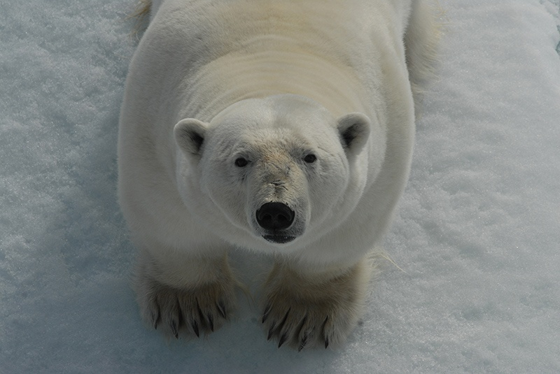 A polar bear mugs for a Quark passenger's camera in Spitsbergen. Photo: Rob de Haas
