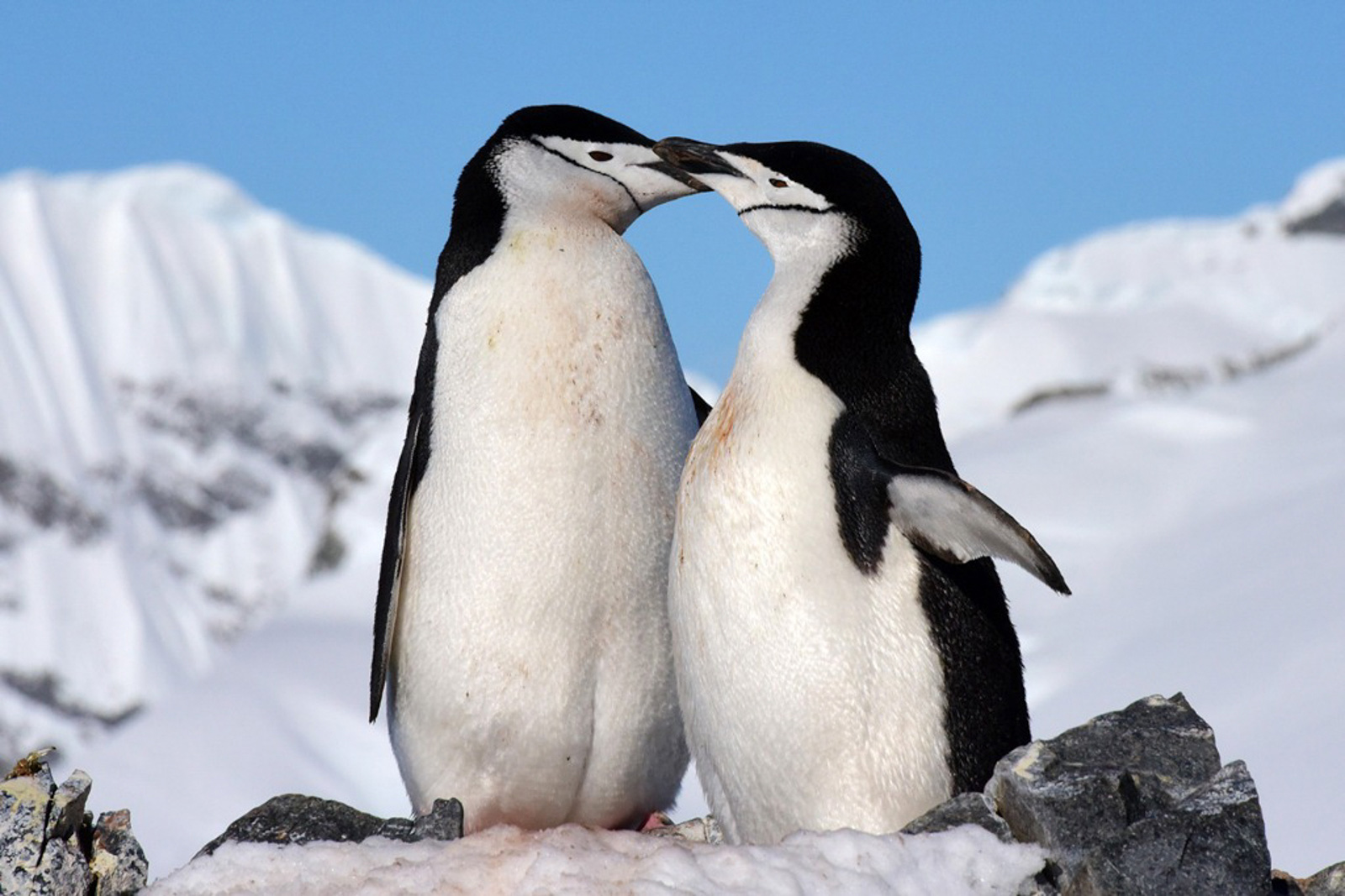Orne Harbour Chinstrap Penguins