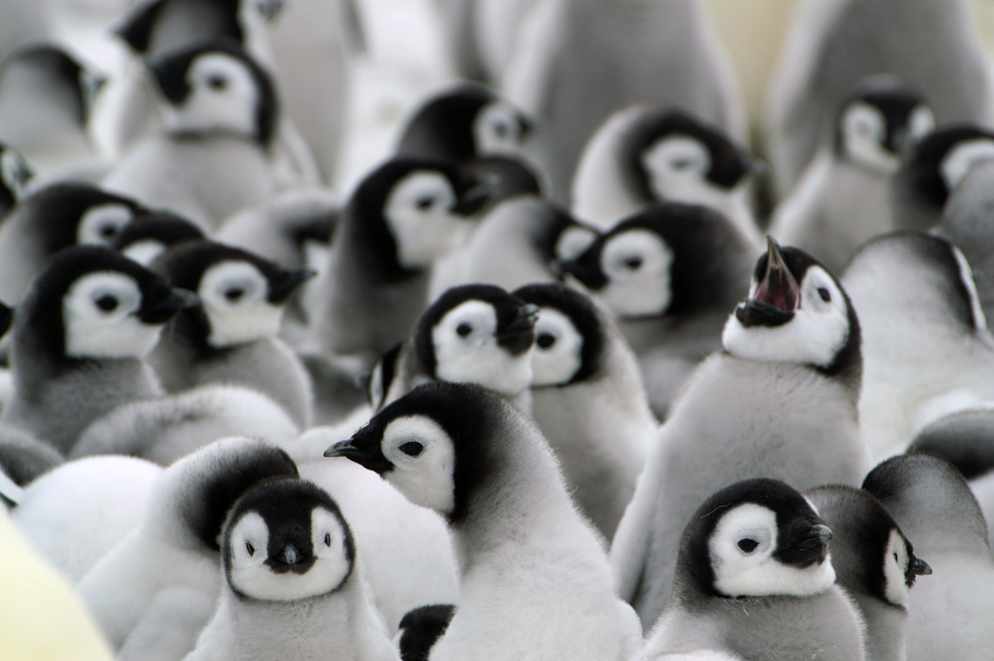 Emperor penguin chicks - Photo credit: Quark passenger: Rene