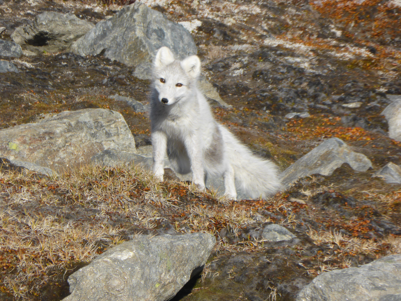 Sunneshine_Fjord_Arctic_fox.jpg