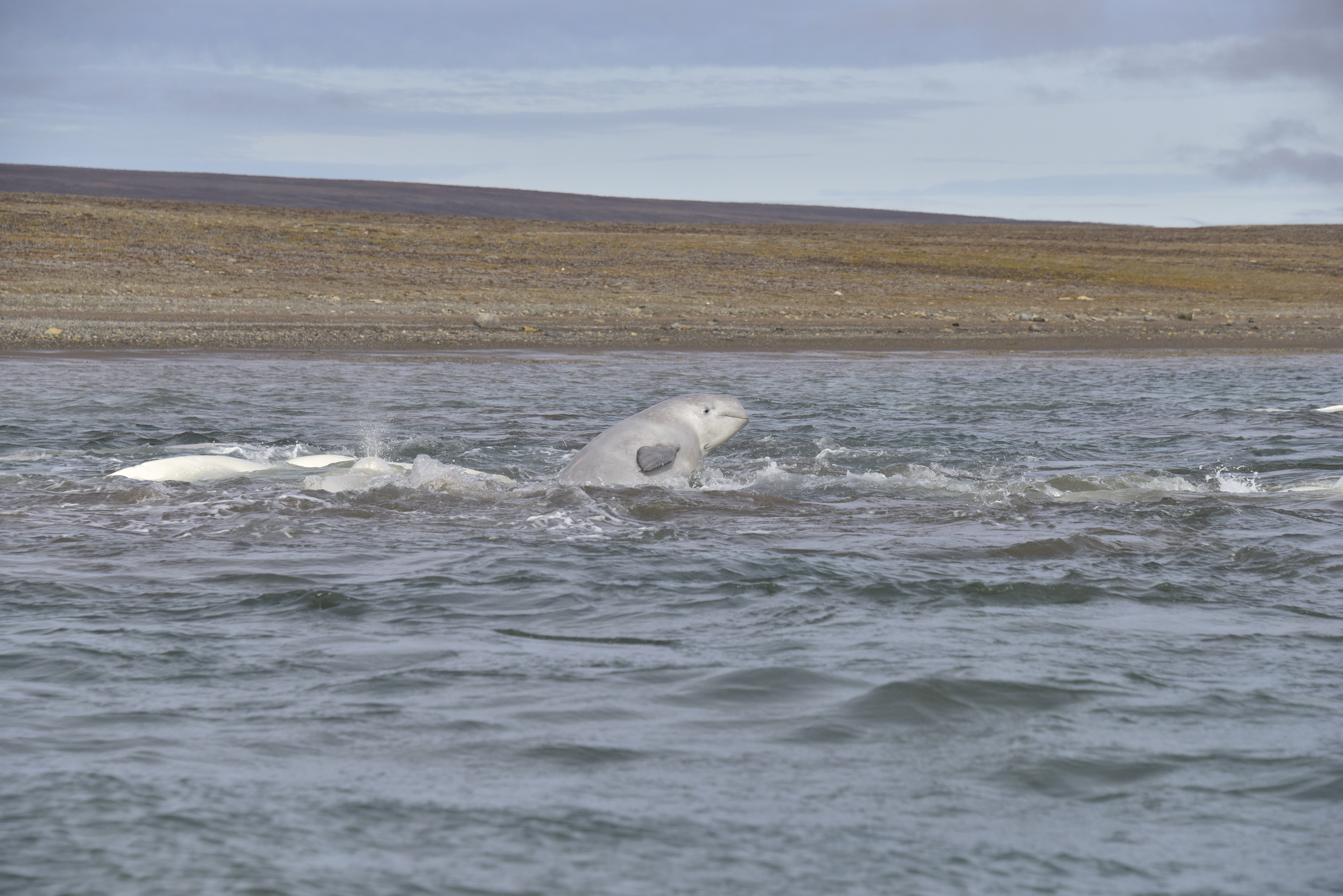 Beluga_jump.jpg
