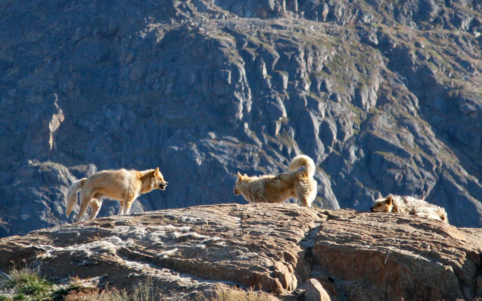 Sisimiut_dogtown_Greenland_Daven_Hafey.jpg