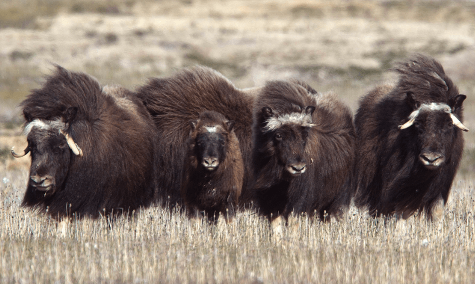 Search for Arctic animals like muskoxen on guided hikes on the tundra.