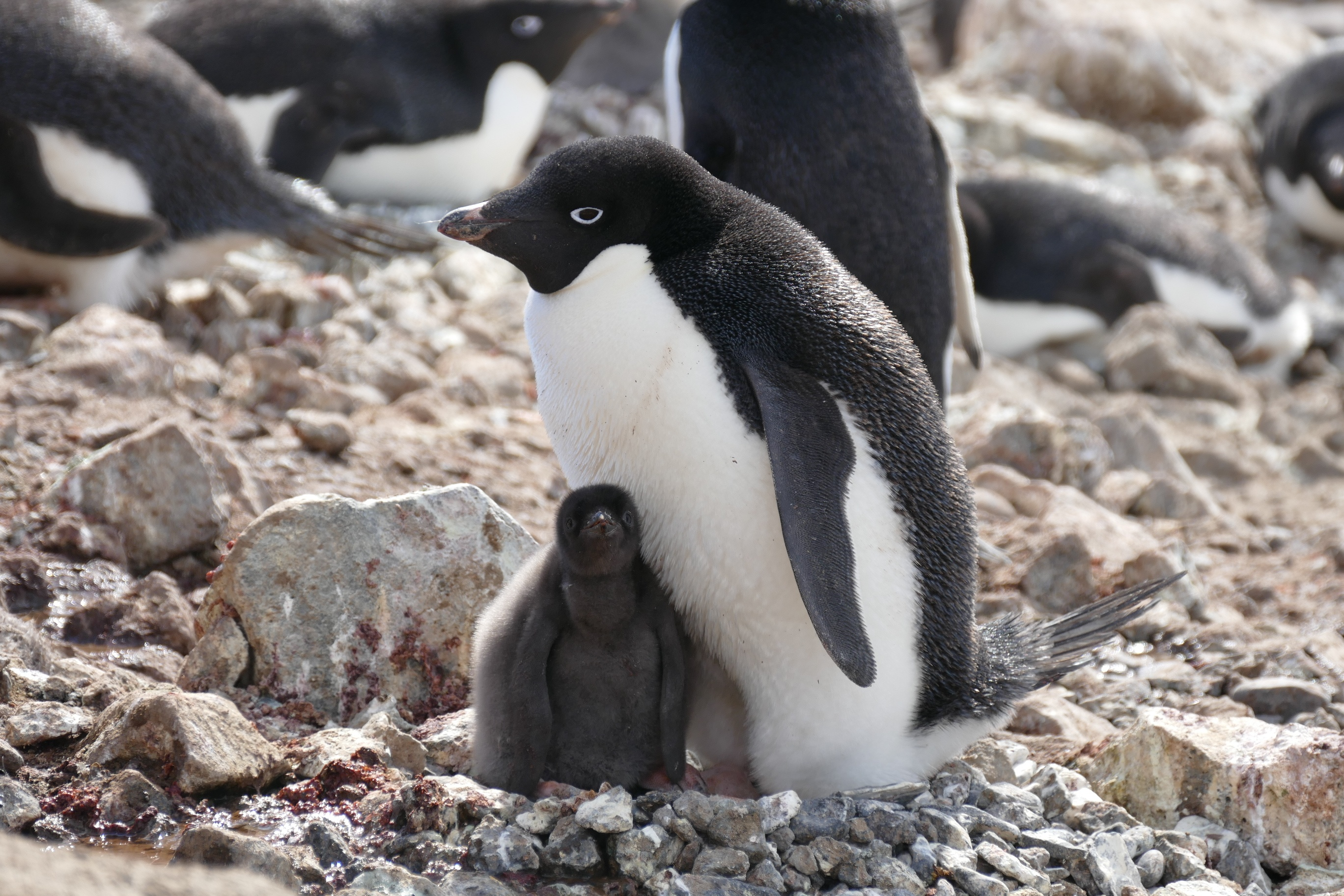 Starting the year in Antarctica yielded one of Noah's favorite birds, the Adelie Penguin, on January 1st.