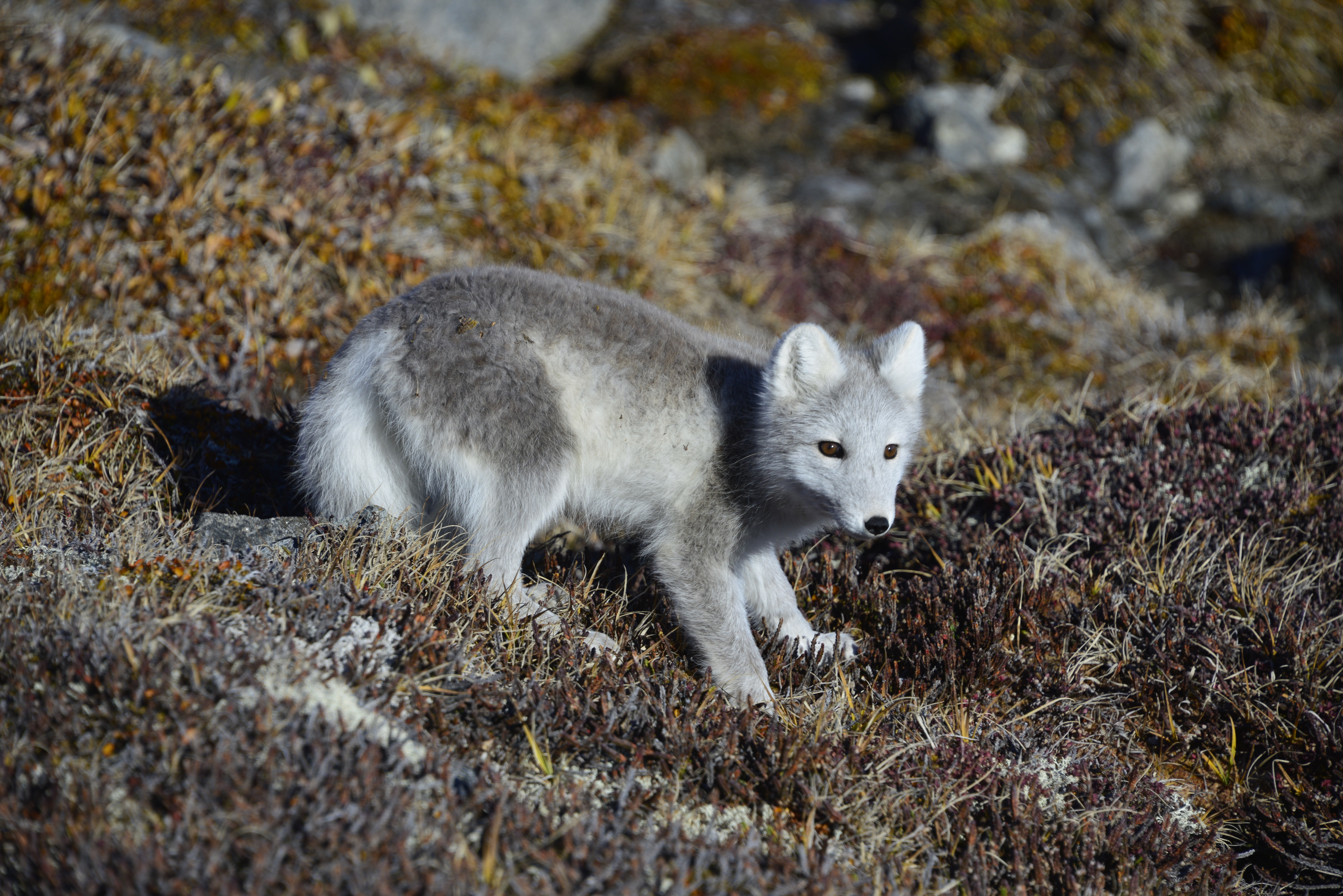 An Arctic fox gingerly makes it way down a slope on the tundra at Sunneshine Fjord, ever watchful for larger, carnivorous Arctic wildlife.