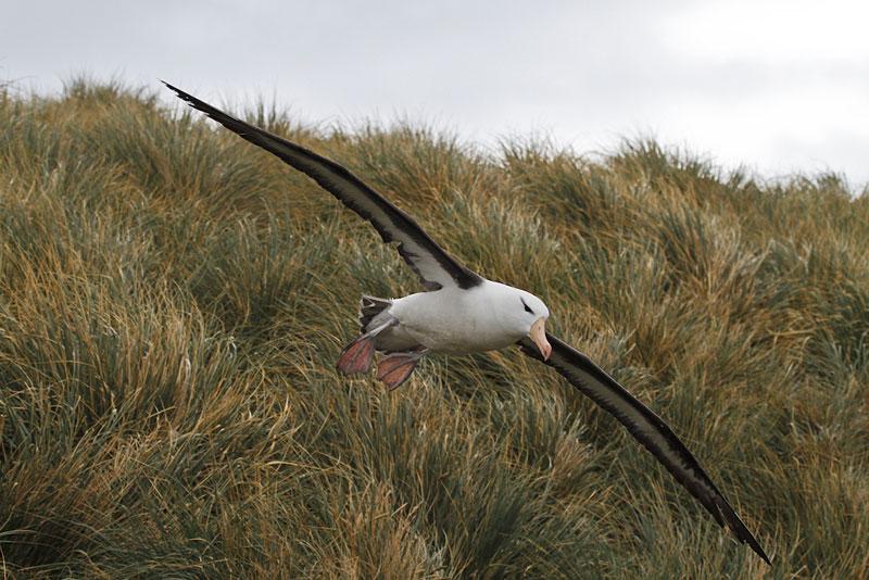 Albatross-3157