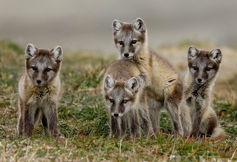 Arctic Fox cubs - Photo by Nansen Weber Photography