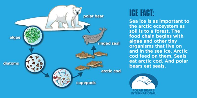 Learn how Arctic sea ice affects the polar bear population.