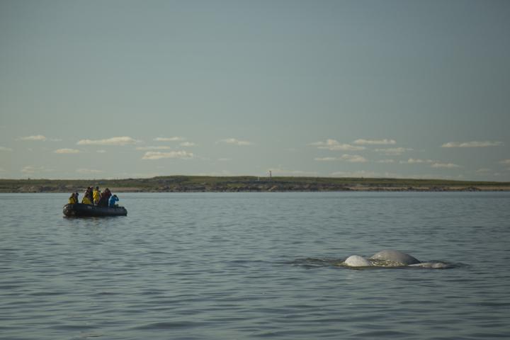 beluga near zodiac