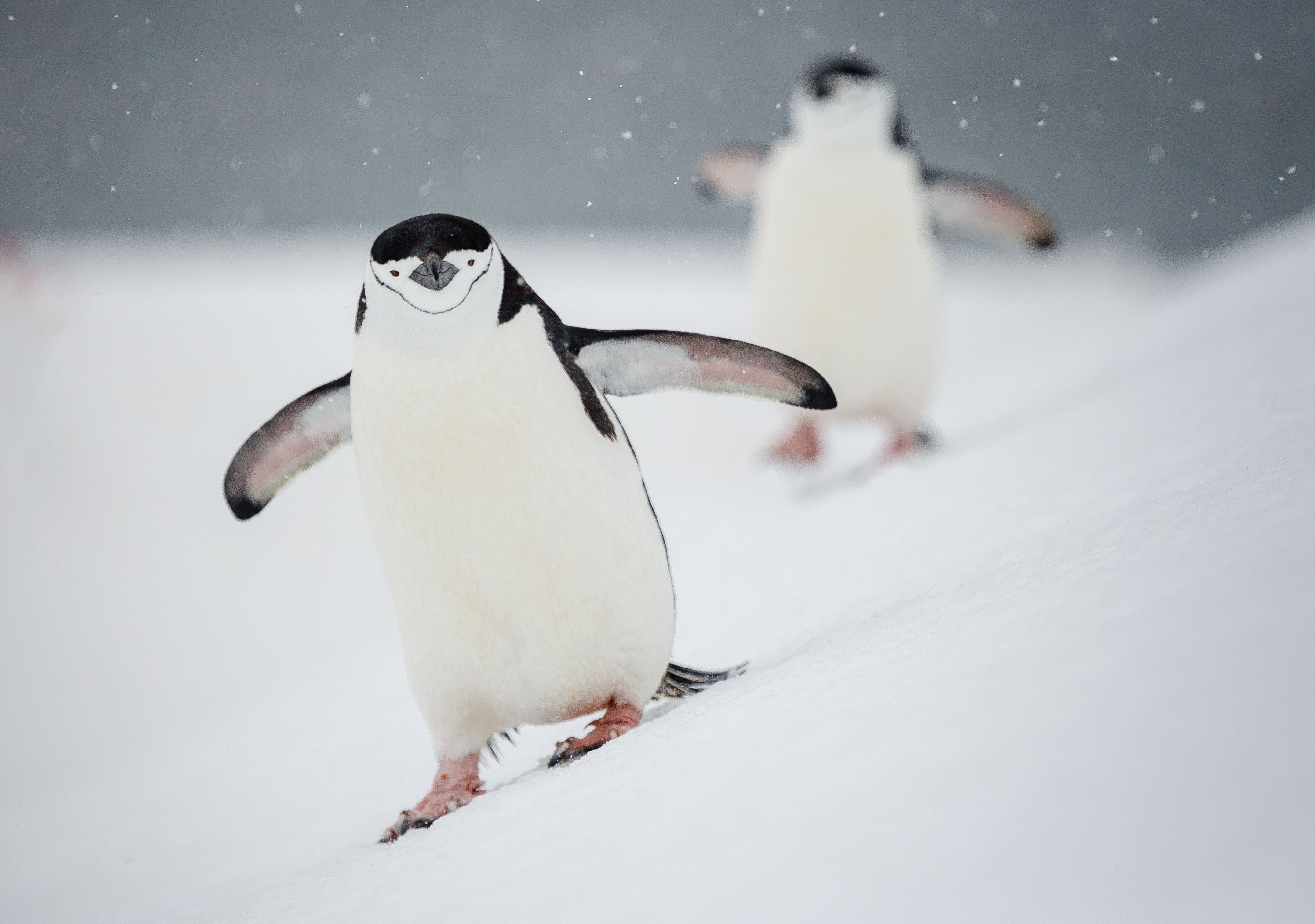 Chinstrap penguins toddle along an incline, delighting Quark passengers in Antarctica