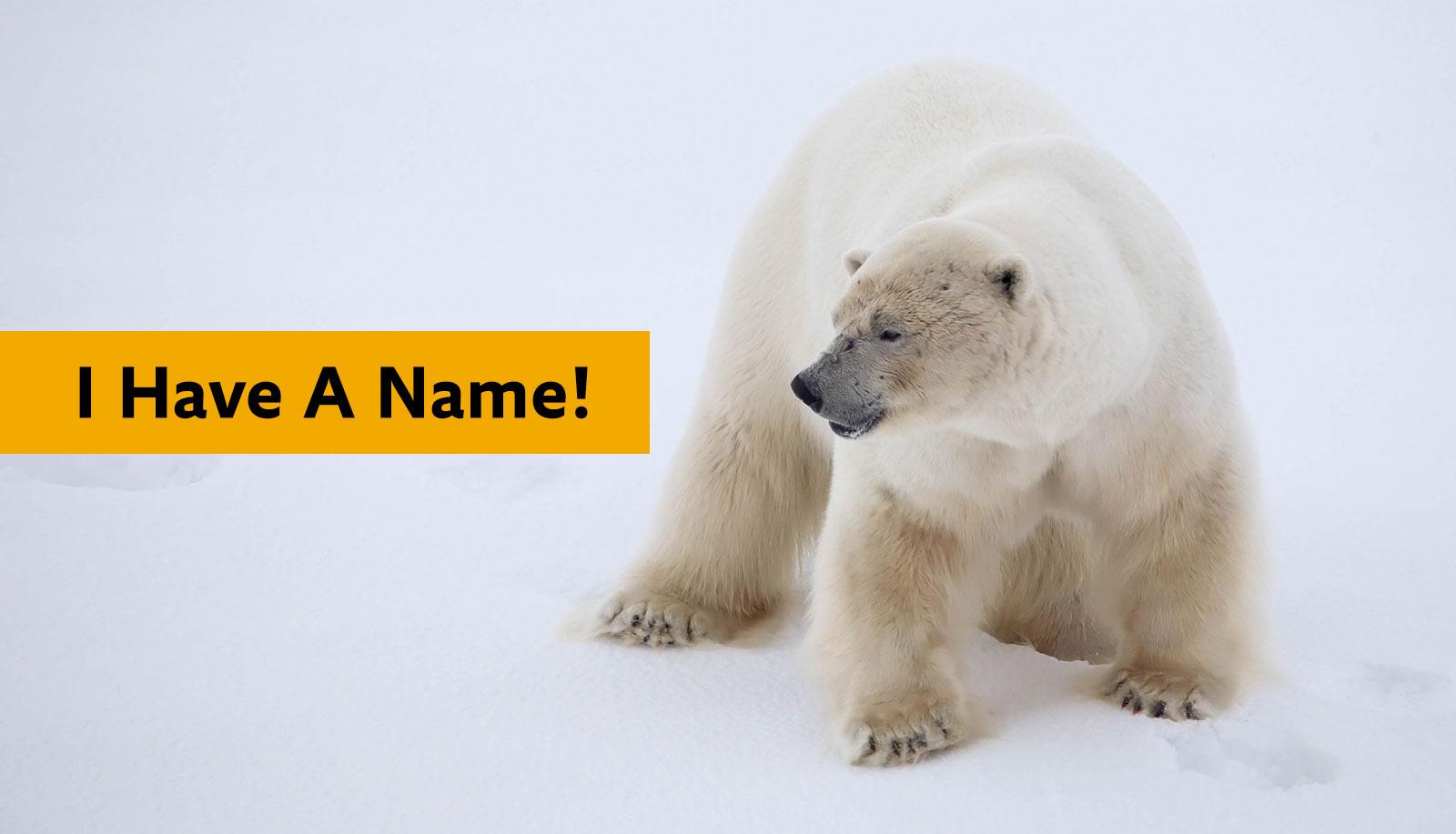 Polaris the polar bear
