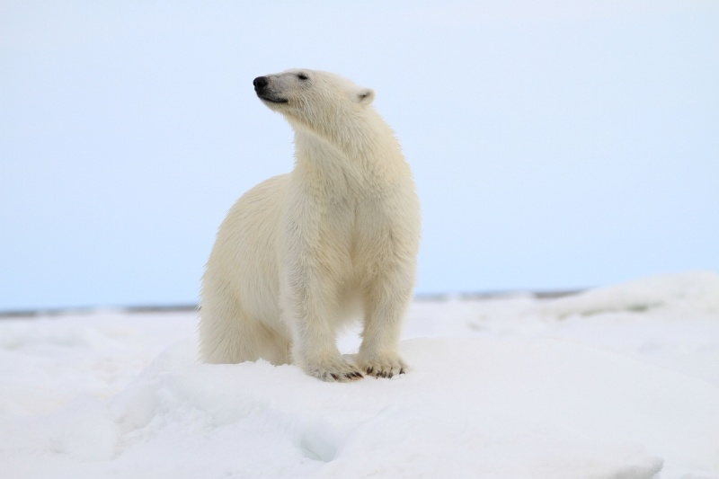 A polar bear catches a scent in the crisp Arctic air, as witnessed by Quark passengers en route to the North Pole.
